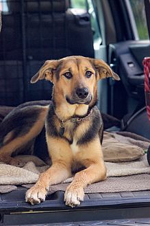 Shepherd (Unknown Type)/Husky Mix Dog for adoption in North Vancouver, British Columbia - MAGGIE