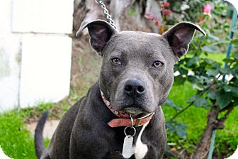 Pit Bull Terrier Mix Dog for adoption in Los Angeles, California - MJ