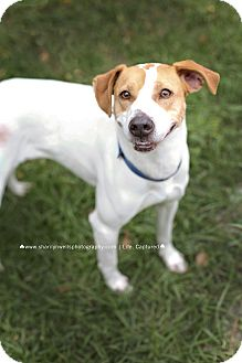 Whippet Mix Dog for adoption in Fayetteville, North Carolina - Maggie