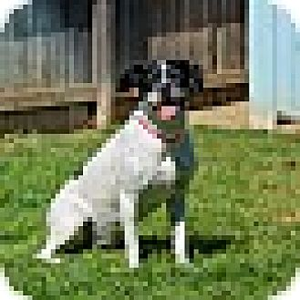 Pointer/Boxer Mix Dog for adoption in Lodi, California - Lacy