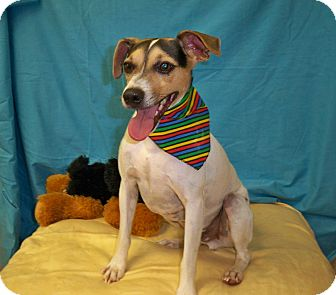 Jack Russell Terrier Dog for adoption in Poteau, Oklahoma - BUDDY
