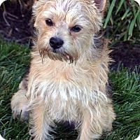 Adopt A Pet :: Toby-ADOPTION PENDING - Bridgeton, MO