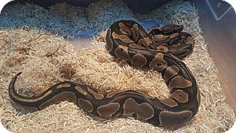 Snake for adoption in Aurora, Illinois - Lasagna