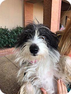 Schnauzer (Miniature)/Pomeranian Mix Dog for adoption in Atlanta, Georgia - Trixie