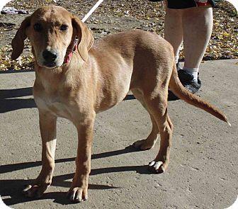 Hound (Unknown Type)/Golden Retriever Mix Puppy for adoption in Washington court House, Ohio - Nala