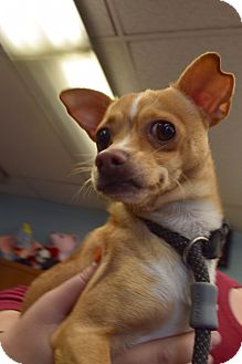 Chihuahua Dog for adoption in Bay Shore, New York - Rico