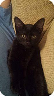 Domestic Shorthair Kitten for adoption in Washington, North Carolina - SABRINA
