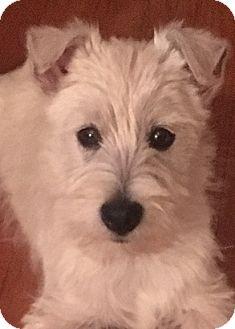 Westie, West Highland White Terrier Puppy for adoption in Omaha, Nebraska - Gaston-Pending Adoption