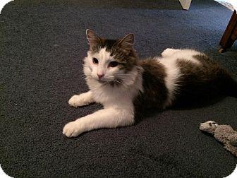 Domestic Mediumhair Cat for adoption in Avon, New York - Luna