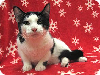 Domestic Shorthair Cat for adoption in Redwood Falls, Minnesota - Klondike