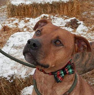 Pit Bull Terrier/Rhodesian Ridgeback Mix Dog for adoption in Cordes Lakes, Arizona - LIAM