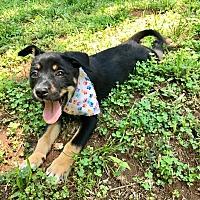 Adopt A Pet :: Calypso (RBF) - Washington, DC