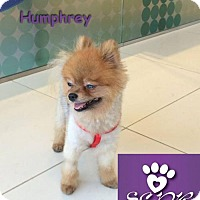 Adopt A Pet :: Humphrey - Studio City, CA