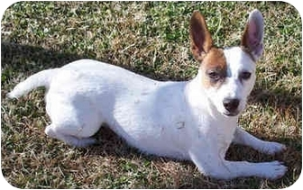 Jack Russell Terrier Dog for adoption in Phoenix, Arizona - HARLEY