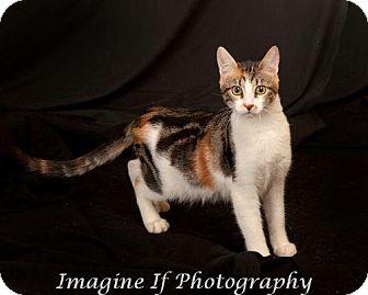 Domestic Shorthair Cat for adoption in Edmond, Oklahoma - Snapdragon