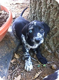 Catahoula Leopard Dog Mix Puppy for adoption in Somers, Connecticut - Oreo