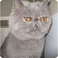 Adopt A Pet :: Baloo - Mesa, AZ