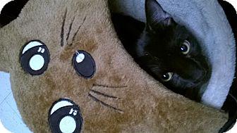 Domestic Shorthair Cat for adoption in Brea, California - B O O