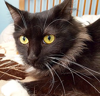 Domestic Mediumhair Cat for adoption in Tucson, Arizona - Lacie - she's lovely!