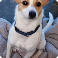 Chihuahua Mix Dog for adoption in Manning, South Carolina - Patches