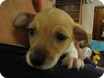 Chihuahua/Jack Russell Terrier Mix Puppy for adoption in Rockville, Maryland - Baby Moe