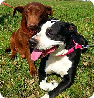 Labrador Retriever/Terrier (Unknown Type, Medium) Mix Dog for adoption in Simsbury, Connecticut - Ensign & Bailey - Bonded Pair