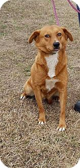 Golden Retriever/Retriever (Unknown Type) Mix Dog for adoption in Mount Holly, New Jersey - Libby