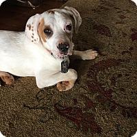 Adopt A Pet :: Butters - Plainfield, CT