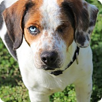 Adopt A Pet :: Ollie - Prince Frederick, MD