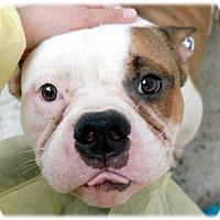 Adopt A Pet :: Enchilada Eng Bully - Woodland Park, NJ