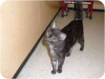 Domestic Mediumhair Cat for adoption in No.Charleston, South Carolina - APOLLO