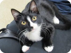 Domestic Shorthair Kitten for adoption in Diamond Bar, California - SONIC
