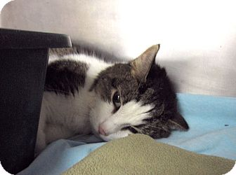 Domestic Shorthair Cat for adoption in Chicago, Illinois - Opala