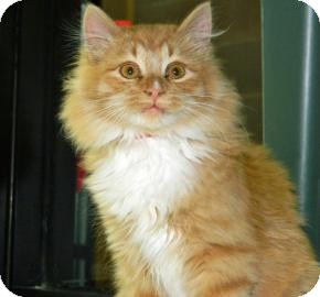 Domestic Longhair Cat for adoption in Cheyenne, Wyoming - Pumpkin