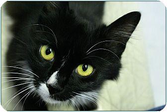 Domestic Mediumhair Cat for adoption in Elmwood Park, New Jersey - Farah