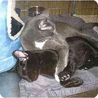 Adopt A Pet :: MalyCat - New Port Richey, FL