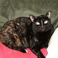 Adopt A Pet :: Mitsy - Naples, FL