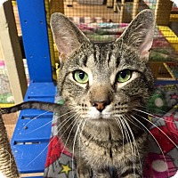 Domestic Shorthair Cat for adoption in Wilmington, Delaware - Stanley
