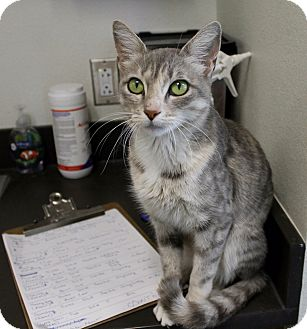 Domestic Shorthair Cat for adoption in Edgewood, New Mexico - Katy