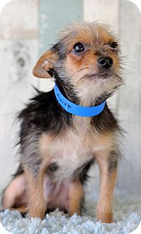 Yorkie, Yorkshire Terrier Mix Puppy for adoption in Waldorf, Maryland - Squirt