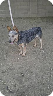 Australian Cattle Dog Dog for adoption in Phoenix, Arizona - Tequila