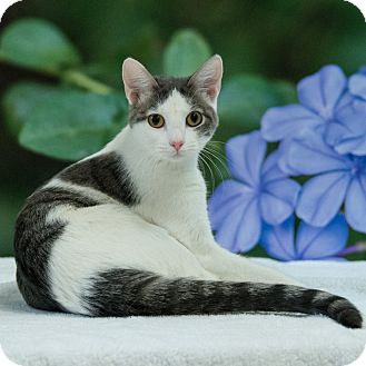 Domestic Shorthair Cat for adoption in Houston, Texas - Nona