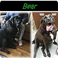 Adopt A Pet :: Bear - Deer Park, NY
