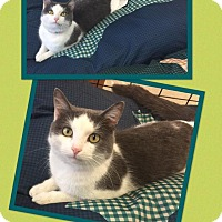 Domestic Shorthair Cat for adoption in Scottsdale, Arizona - Whiney
