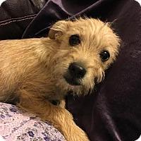 Terrier (Unknown Type, Medium) Mix Dog for adoption in Arlington, Washington - Huey  A terrier puppy