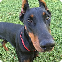 Adopt A Pet :: Ketra - Arlington, VA