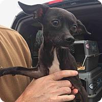 Adopt A Pet :: Shyna - Loudonville, NY
