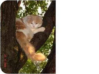 Domestic Mediumhair Cat for adoption in Syracuse, New York - Mighty Whitey