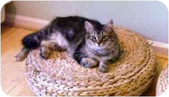 Maine Coon Cat for adoption in Wakinsville, Georgia - Bardot