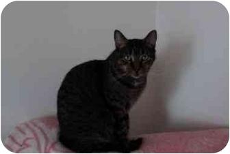 Domestic Shorthair Cat for adoption in Montreal, Quebec - Ella